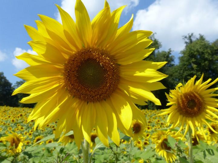 Sunflower - Girassol - Flor de Touro e Leão